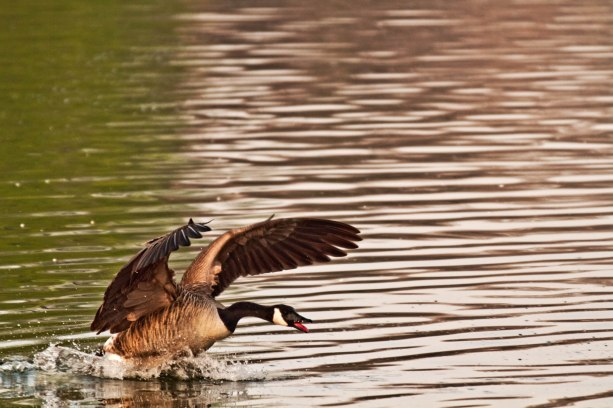 geese about to take off from water