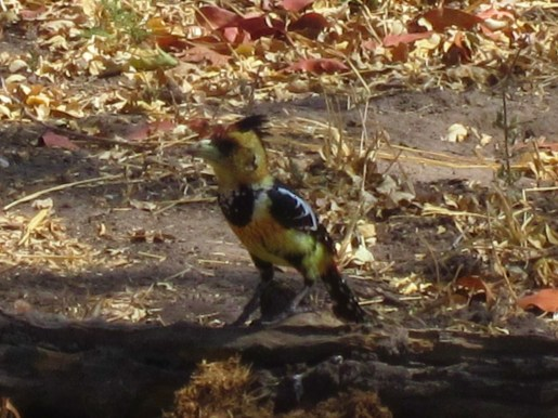 crested-barbet-botswana-2