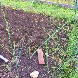 asparagus conshohocken 2