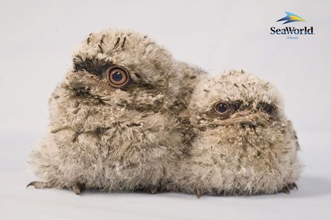 Sweet baby frogmouth chicks.