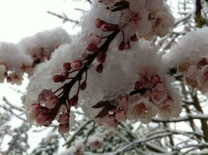 Snow on Blossom, photographed by my friend Clare Nunns.