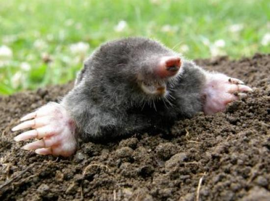 Yay...those damn sheep have gone!!  Moles love the damp soil by the river at Marlow.