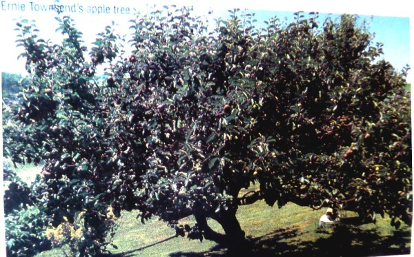 The old tree in the 1970's, laden with fruit.