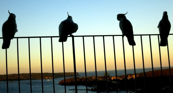 Cockatoos at dusk