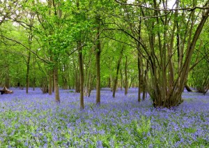 The bluebell wood at Harleyford.