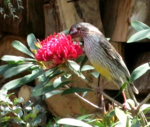 Wattle Bird feeding on waratah