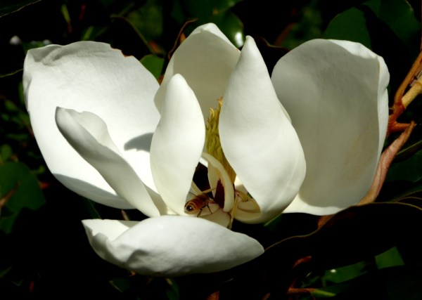 The beautiful Bull Bay Magnolia....beloved by Marjorie Rawlings.