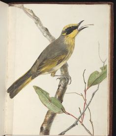 Lewin's honeyeater, one of the birds lost to Sydney