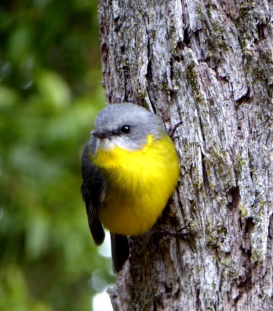 Eastern yellow robin at the woodheap