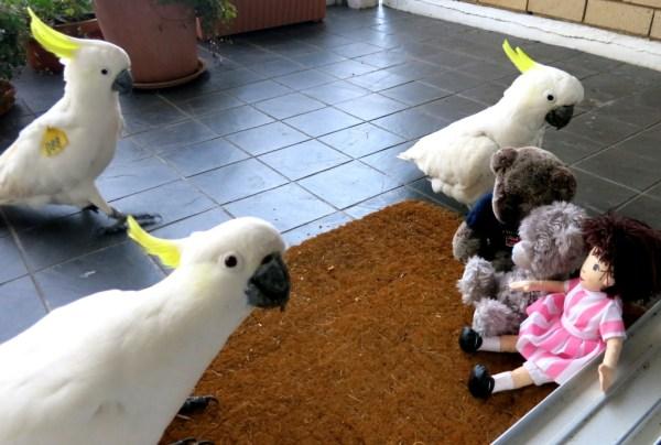 Sulphur crested cockatoos.