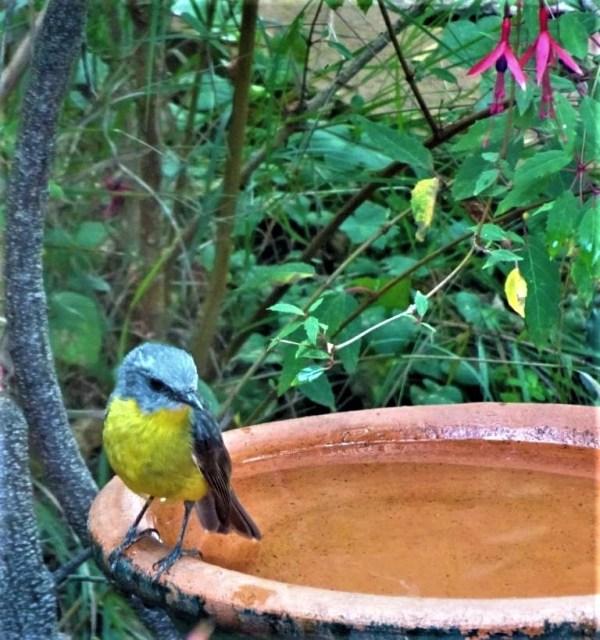 Eastern Yellow Robins enjoy a bath.