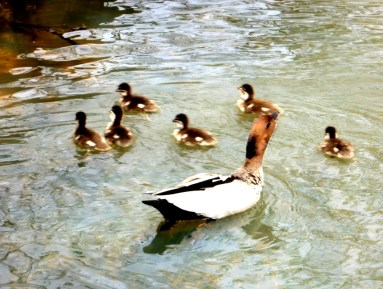 Wood ducks All safely afloat.
