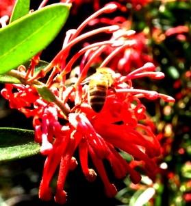 Grevillea bloom in the Blue Mountains,