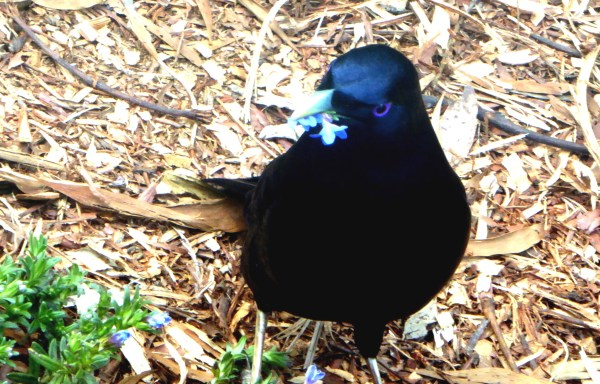 Male Satin Bower BIrd