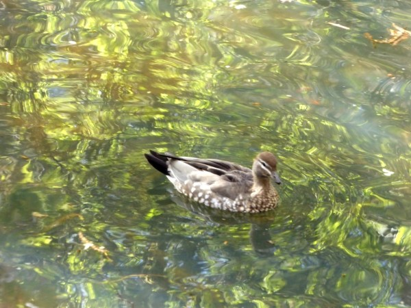 Mother wood duck on golden pond