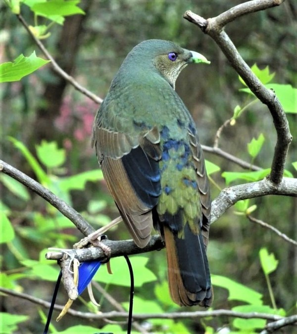 Satin bowerbird in transition to adult plumage.