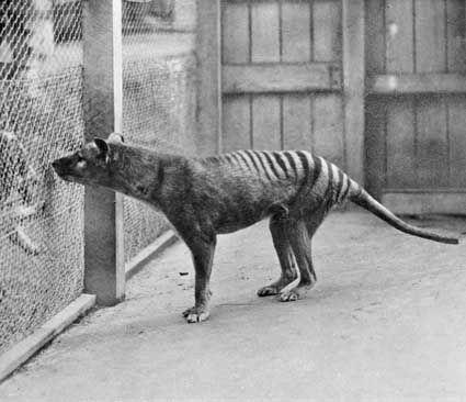 Tasmanian Tiger in captivity.