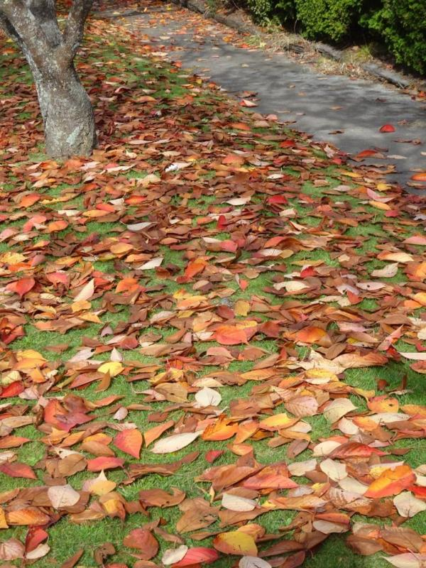 Carpetof cherry tree leaves.