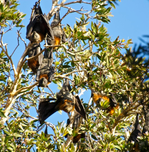 Fruit bats love to hang out in the fig trees at Sydney's botanic gardens.