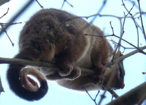 Ring tail possum at Blackheath