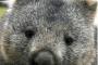 Wombat face