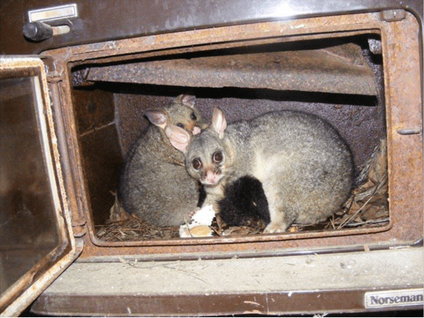 Possums make home in an old wood burner.