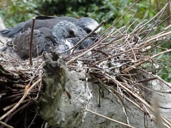 Wonga nest