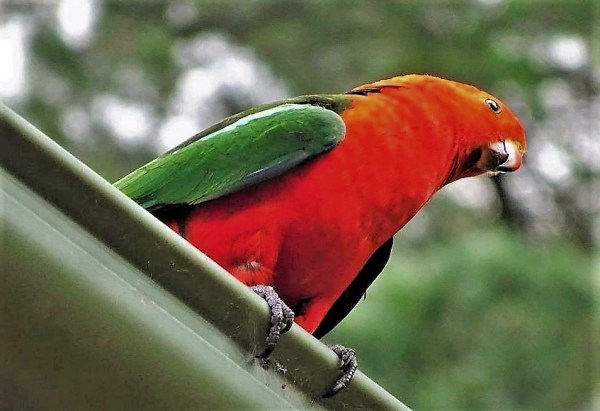 Male King Parrot on the gutter.