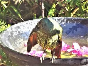 Bowerbird preening.