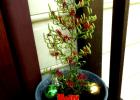 Lycopodium Christmas tree.