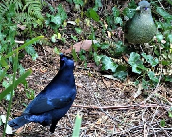 Adult satin bowerbird raiding juvenile's bower