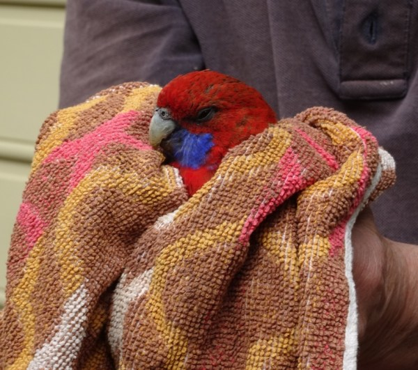 Crimson rosella after flying intoa window.