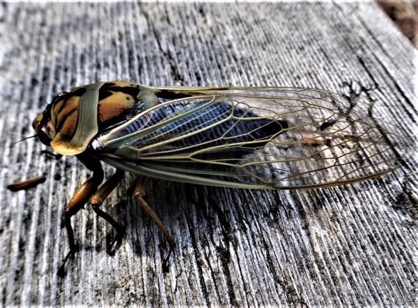 Masked devil cicada