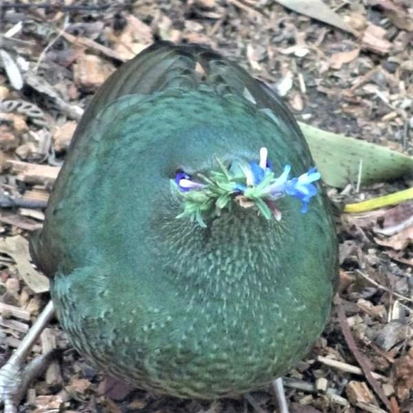 Satin bowerbird stealing flowers