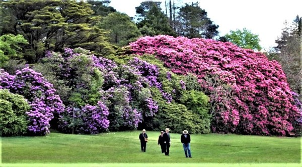 Rhododendrons in Memorial PPark, Blackheath