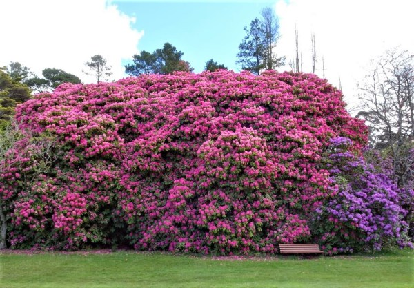 Rhododendrons in Memorial Park, Blackheath.