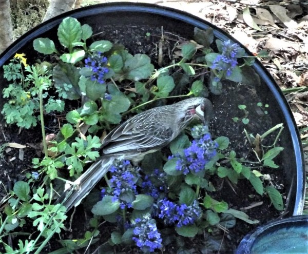 Wattle bird sipping ajuga nectar