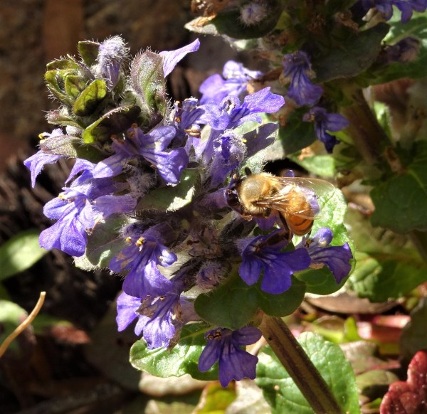 Bee on ajuga