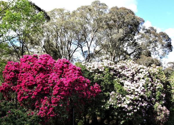 Rhododendrons in Memorial Park Blackheath