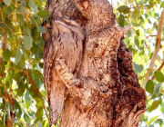 Tawny frogmouth in the arms of a gum tree.