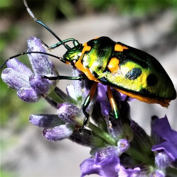Harlequin bug on lavender