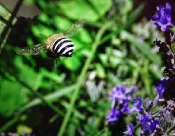 Australian native blue banded bee