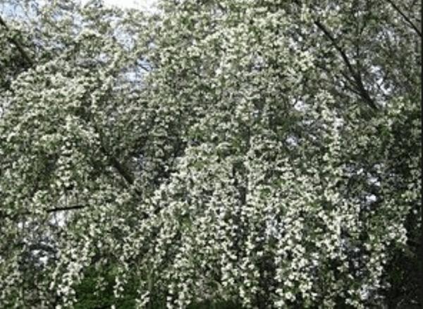 Lucerne tree