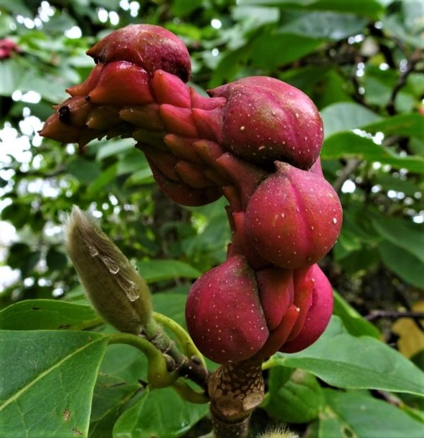 Magnolia fruit.