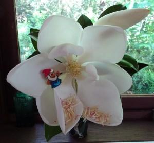 Magnolia grandiflora bloom.