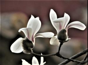 Magnolia Yulam\n