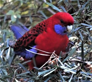 Crimson rosella with mountain devil