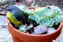 Eastern Yellow Robin on succulent pot.
