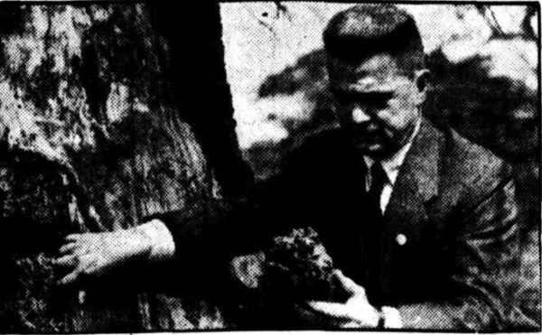 R.A. Anderson insecting the dead Wishing tree in the Sydney Botanic Gardens, 1945