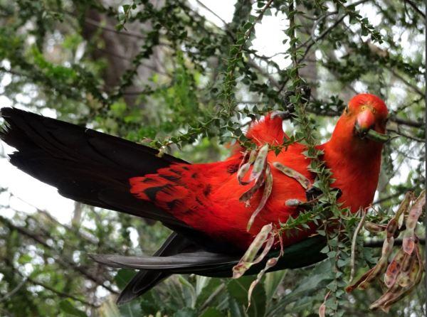 King parrot feeding on  acacia seeds